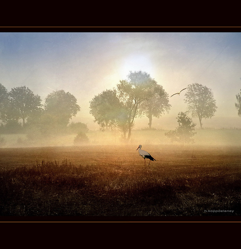 Stork in golden Field