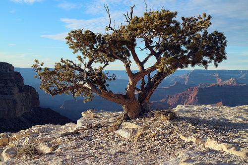 "Water-thrifty ""Bonsai"" Tree Along the Grand Canyon"