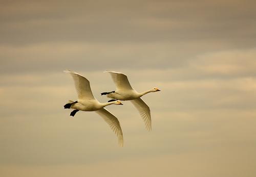 Swans flying