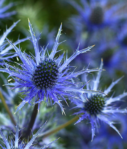 Sea holly.