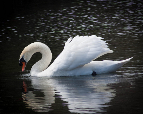Beautiful Swan