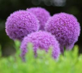 Amazing purple