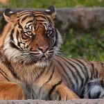 Reiki tiger