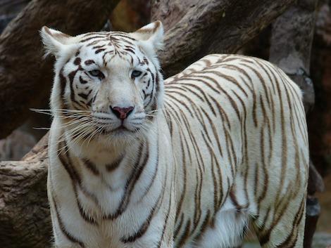 Tiger Reiki