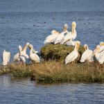 Pelican Symbolism